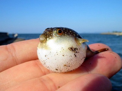 blowfish.jpg